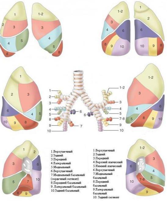 Wo sind die Lungen in der Person? Wo hat eine Person Lungen?