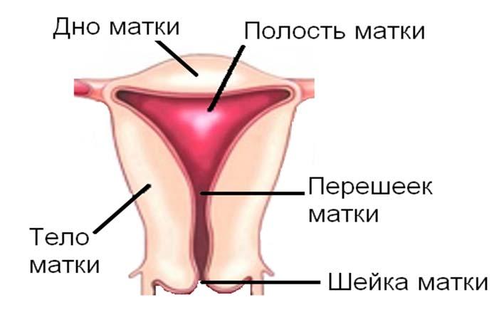 Anatomie der Gebärmutter, Norm und Abweichungen. Wie ist das ...