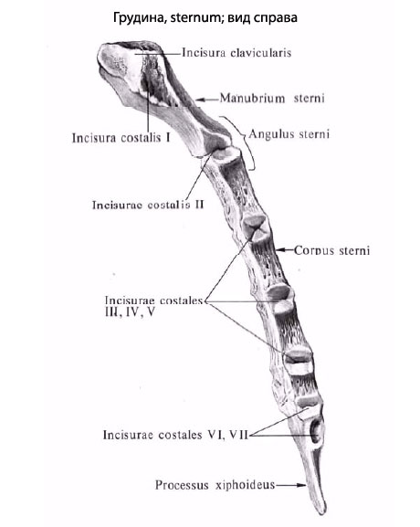 The Arm Is The Body Of The Xiphoid Process Human Sternum Anatomy Information The ribs are 12 pairs (left and right) of flat, curved bones that give the thoracic cage its shape. human sternum anatomy information