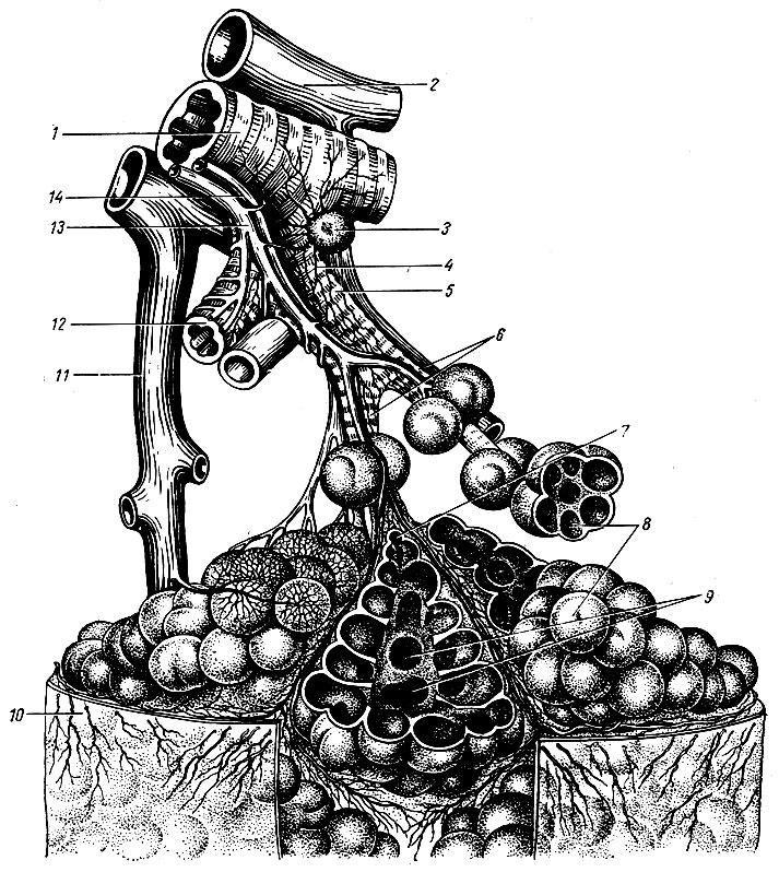 Anatomie der Lunge des Menschen. Was sind die Lungen?